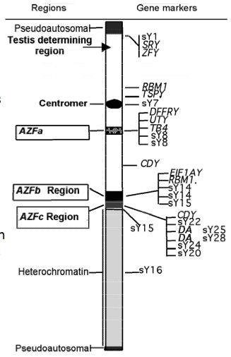 Genetics of Low Sperm Count